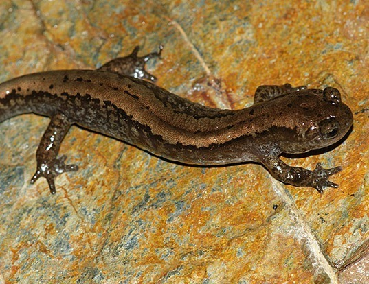 Picture of a siberian salamander (Salamandrella keyserlingii)