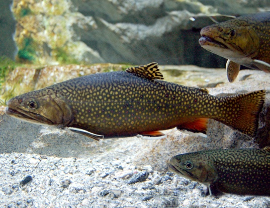 Picture of a brook trout (Salvelinus fontinalis)