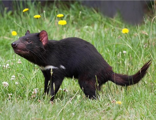 Picture of a tasmanian devil (Sarcophilus laniarius)
