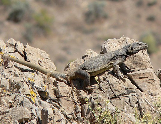 Picture of a chuckwalla (Sauromalus ater)