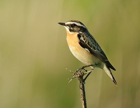 Picture of a whinchat (Saxicola rubetra)
