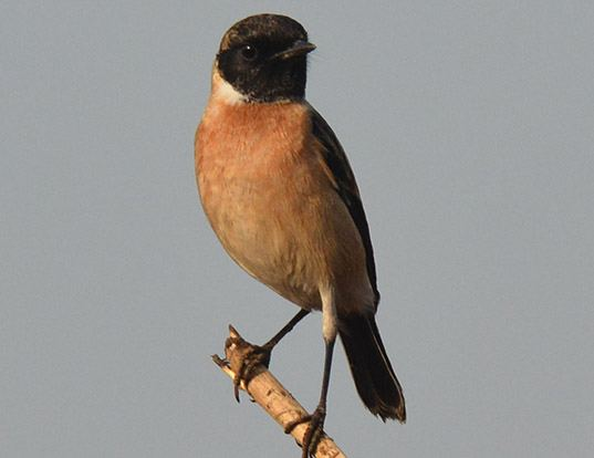 Picture of a stonechat and stonechat (Saxicola torquatus)