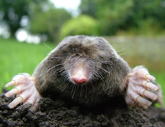 Picture of a coast mole (Scapanus orarius)