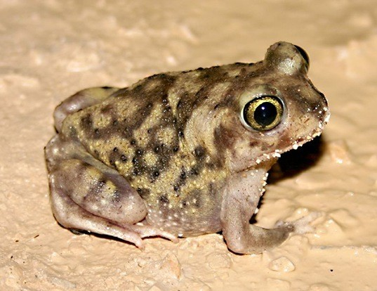 Picture of a couch's spadefoot (Scaphiopus couchii)