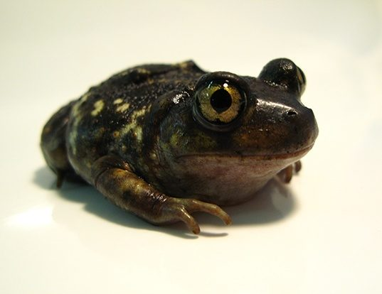Picture of a eastern spadefoot toad (Scaphiopus holbrookii)