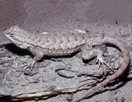 Picture of a eastern fence lizard (Sceloporus undulatus)