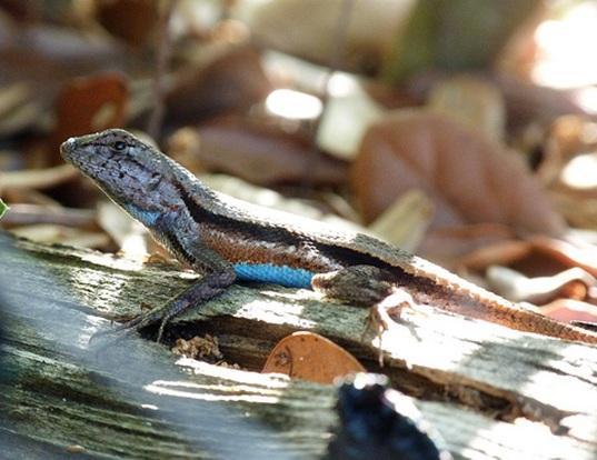 Picture of a florida scrub lizard (Sceloporus woodi)