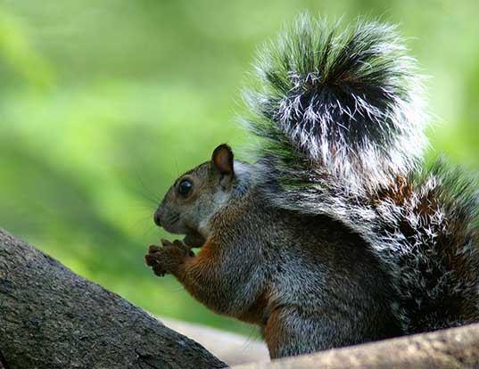 Picture of a variegated squirrel (Sciurus variegatoides)