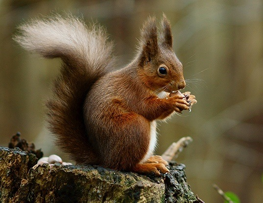 Picture of a eurasian red squirrel (Sciurus vulgaris)