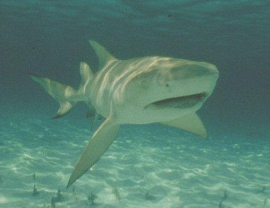 Picture of a spadenose shark (Scoliodon laticaudus)