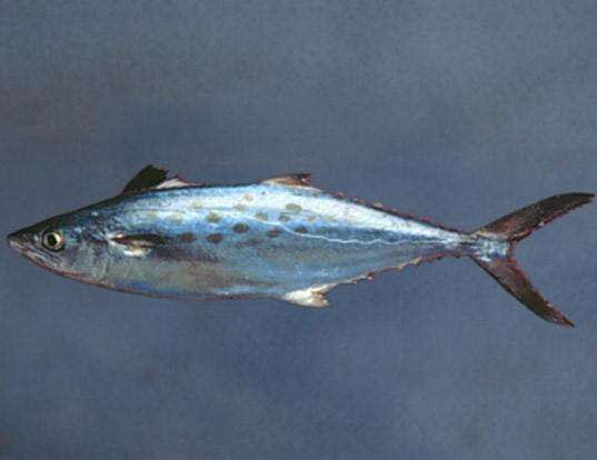 Atlantic spanish mackerel life expectancy for Spanish mackerel fish
