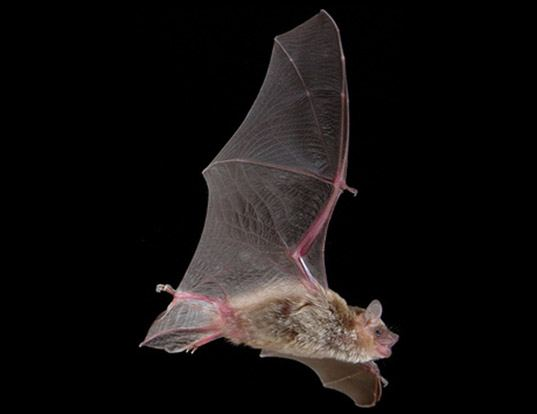 Picture of a inland broad-nosed bat (Scotorepens balstoni)
