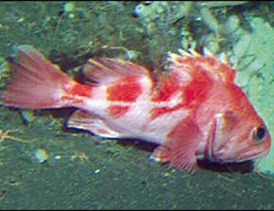 Picture of a rougheye rockfish (Sebastes aleutianus)