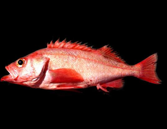 Picture of a pacific ocean perch (Sebastes alutus)