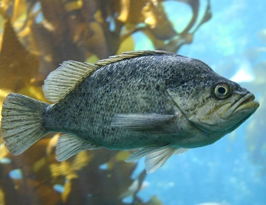 Picture of a kelp rockfish (Sebastes atrovirens)