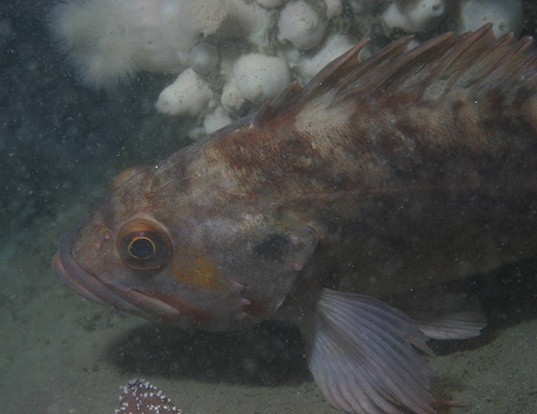 Picture of a brown rockfish (Sebastes auriculatus)