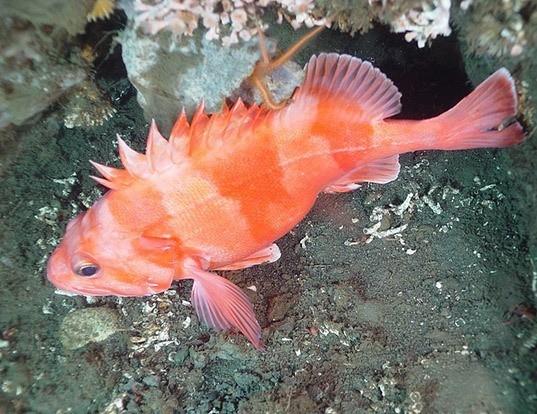 Picture of a redbanded rockfish (Sebastes babcocki)