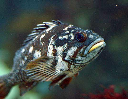 Picture of a gopher rockfish (Sebastes carnatus)
