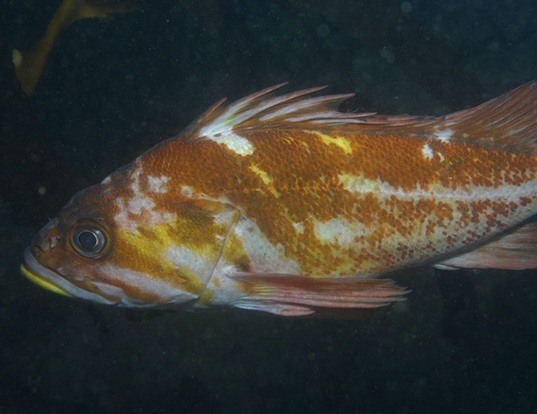 Picture of a copper rockfish (Sebastes caurinus)