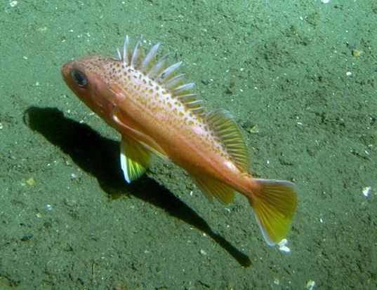 Picture of a greenspotted rockfish (Sebastes chlorostictus)