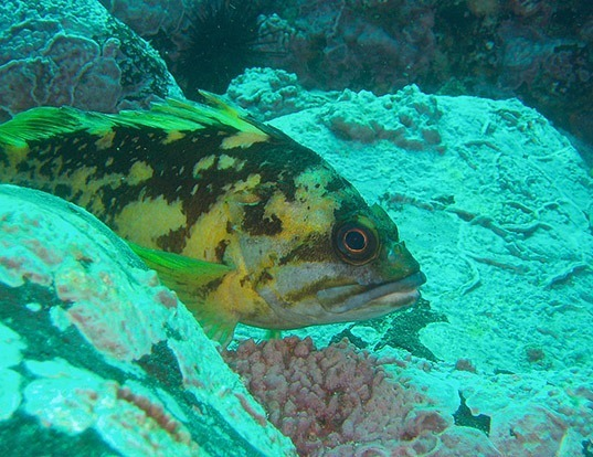 Picture of a black-and-yellow rockfish (Sebastes chrysomelas)