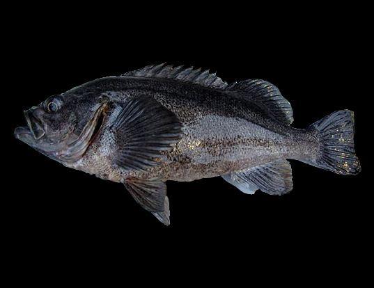 Picture of a dusky rockfish (Sebastes ciliatus)