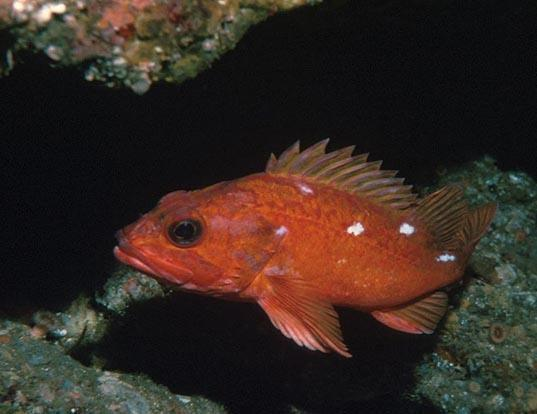 Picture of a starry rockfish (Sebastes constellatus)