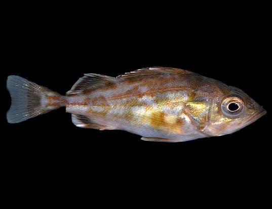 Picture of a splitnose rockfish (Sebastes diploproa)