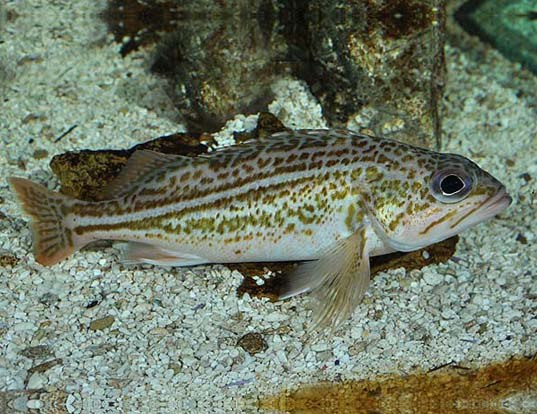 Picture of a greenstriped rockfish (Sebastes elongatus)