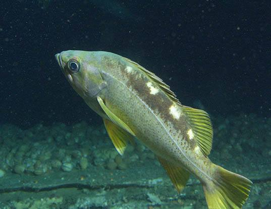 Picture of a yellowtail rockfish (Sebastes flavidus)