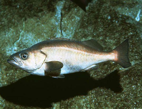 Picture of a chilipepper rockfish (Sebastes goodei)