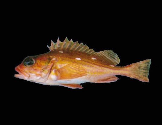 Picture of a rosethorn rockfish (Sebastes helvomaculatus)