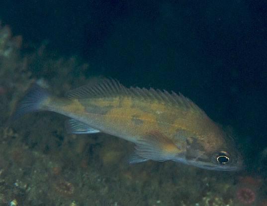 Picture of a squarespot rockfish (Sebastes hopkinsi)