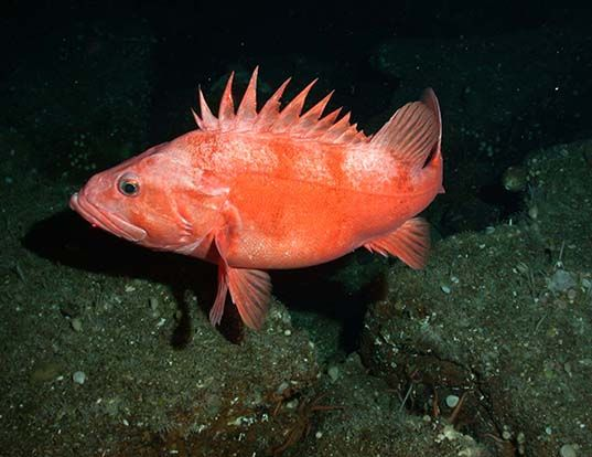 Darkblotched rockfish life expectancy for California fish and game regulations