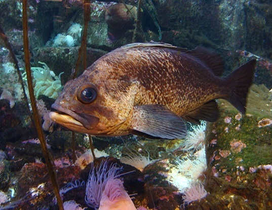 Picture of a quillback rockfish (Sebastes maliger)