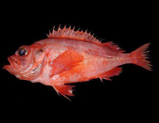 Picture of a deepwater redfish (Sebastes mentella)