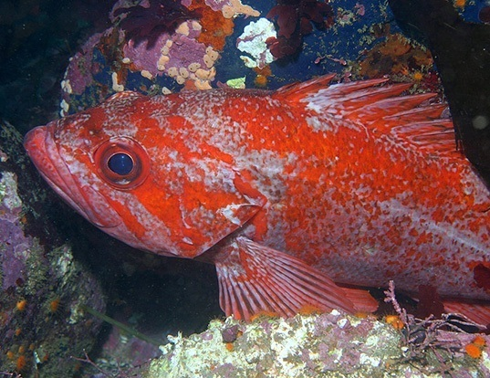 Picture of a vermilion rockfish (Sebastes miniatus)