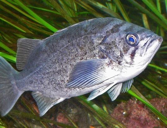 Picture of a blue rockfish (Sebastes mystinus)