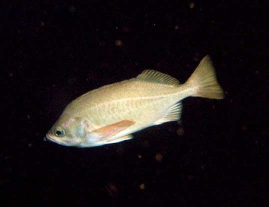 Picture of a speckled rockfish (Sebastes ovalis)