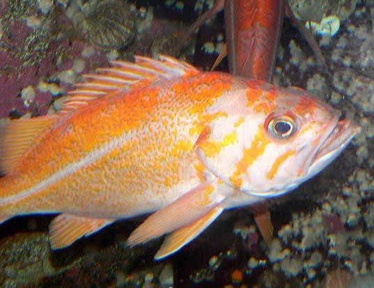 Picture of a canary rockfish (Sebastes pinniger)