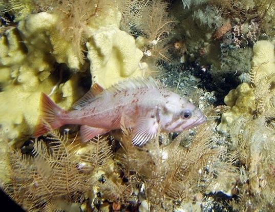 Picture of a northern rockfish (Sebastes polyspinis)