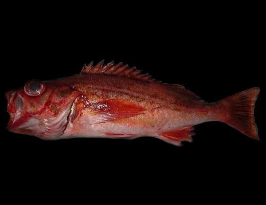 Picture of a redstripe rockfish (Sebastes proriger)