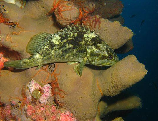 Picture of a grass rockfish (Sebastes rastrelliger)