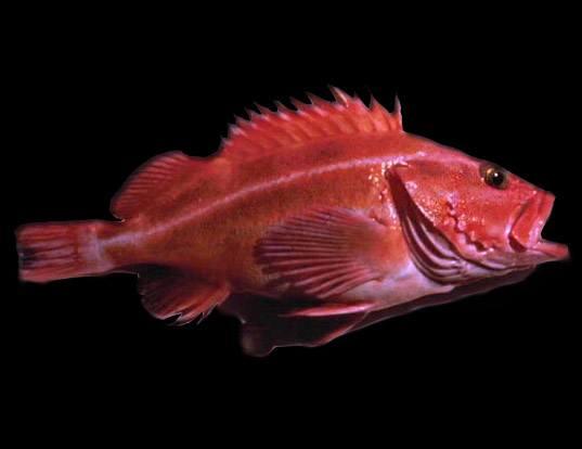 Picture of a yellowmouth rockfish (Sebastes reedi)
