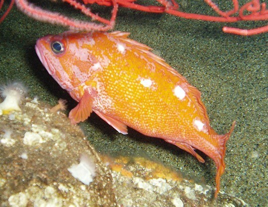 Picture of a rosy rockfish (Sebastes rosaceus)