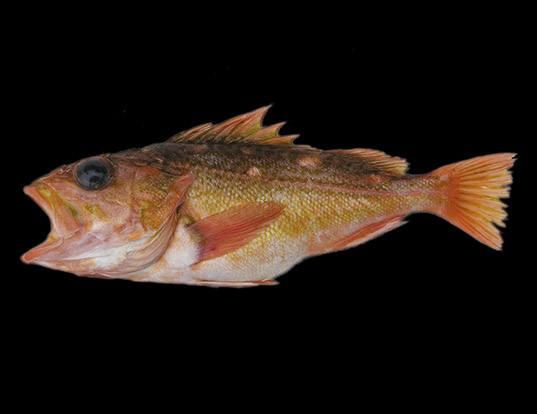 Picture of a greenblotched rockfish (Sebastes rosenblatti)