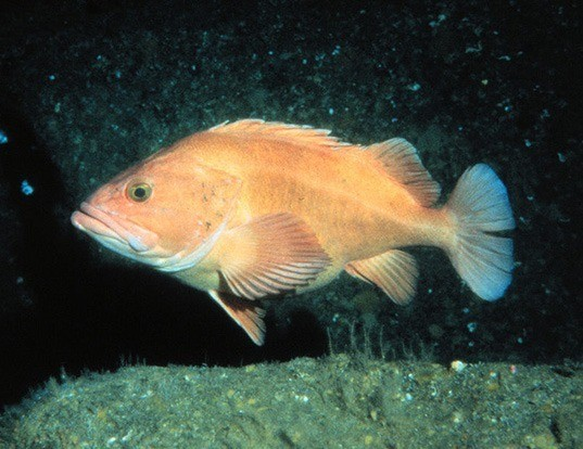 Picture of a yelloweye rockfish (Sebastes ruberrimus)