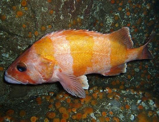 Picture of a flag rockfish (Sebastes rubrivinctus)