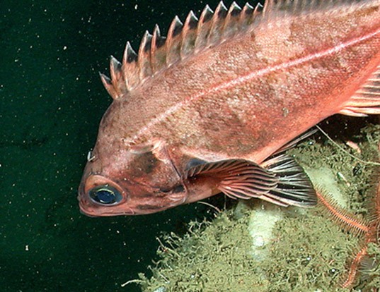 Picture of a bank rockfish (Sebastes rufus)