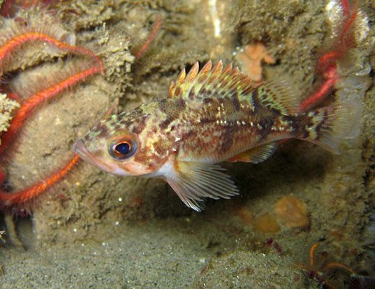 Picture of a stripetail rockfish (Sebastes saxicola)